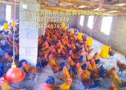贵阳土鸡养殖需要的因素