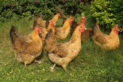 如何检查鸡苗的健康状况