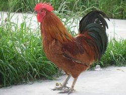 鸡的疾病防治