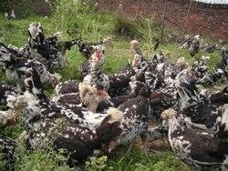 贵阳鸡苗厂分享产蛋高峰期蛋鸡的饲养管理