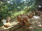 浅谈土鸡苗养殖前应该有哪些准备?