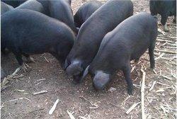 眉山生态猪