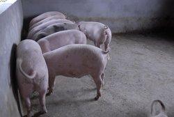 眉山生态猪养殖