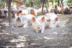 眉山生态猪养殖原理和优点