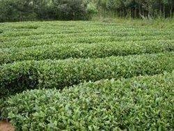 自产崂山茶