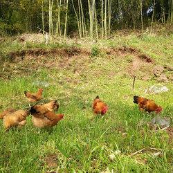 生态鸡放养视频4