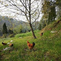 生态鸡放养视频3