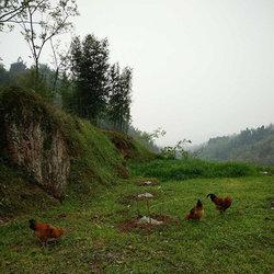 生态鸡放养视频2