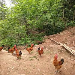生态鸡放养视频1