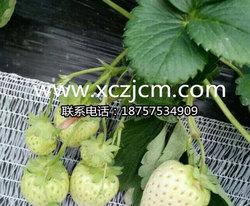 草莓苗移栽的具体细节