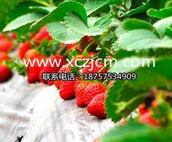 草莓苗病菌病的感染和传播特点