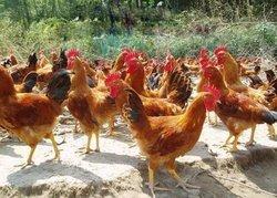 贵阳山鸡的药用价值有哪些十一运夺金?